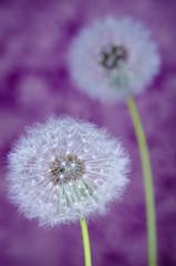 Beautiful purple dandelions