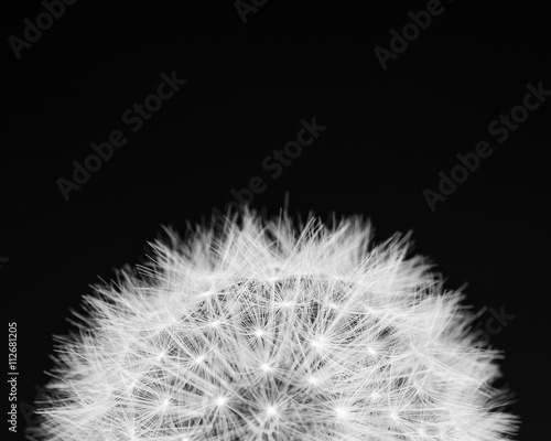 dandelion-z-bliska-w-czerni-i-bieli