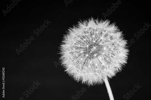 Dandelion in black and white © sharpshutter22