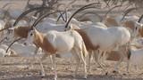 Antilopen in der Herde