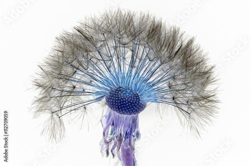 fluffy dandelion - 112709059