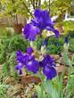 Постер, плакат: Schwertlilie Iris Barbata Elatior Blue Rhythm Steingarten