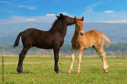 Poster Two cute brown and black foal  is playing