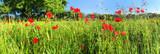 Natürliche Weise mit Mohnblumen - Panorama