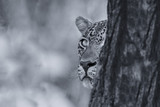 Leopard looking carefully from behind a tree at prey in artistic