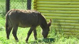 Donkey in the pen suited to the feeder and eats