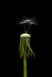 Dandelion seeds closeup - 112823245