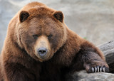 Grizzly bear portrait - 112839025