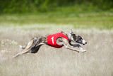 Sighthounds lure coursing competition
