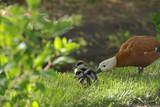 Огарь  или красная утка  с утятами в ботаническом саду в Москве