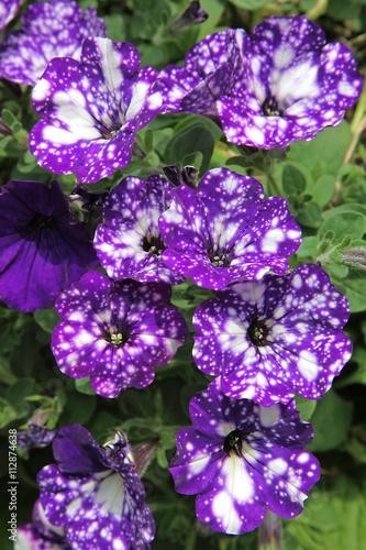 Zdjęcia na płótnie, fototapety, obrazy : Surfinia moucheté blanc et violet