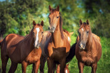 Portrait of three young don breed horses on the pasture in summer