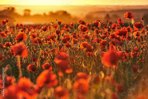 obraz lub plakat Czerwone pole maków o zachodzie słońca