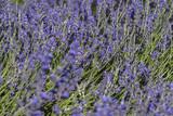 chercher l'abeille dans le grand bleu de fleurs de lavandin