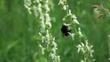 Slow motion video - bumble bee collects nectar. Full HD stock footage clip.