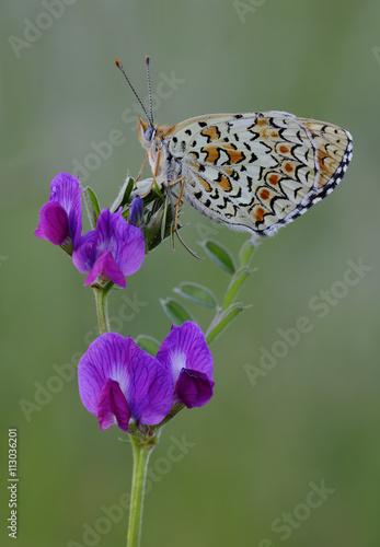 fototapeta na ścianę Mariposa sobre una flor en primavera