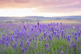 Naklejka Sunset over a violet lavender field