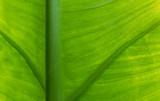 Textura de folha verde.