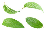Peppermint leaf on white - 113125230