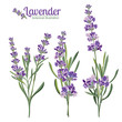 Lavender flowers elements. Botanical illustration.