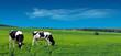 Farm cows grazing in a summer meadow.