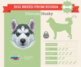 Siberian Husky Dog breed vector infographics.