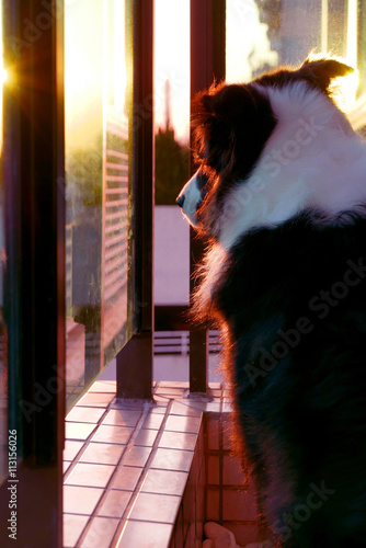 Poster Border Collie pet dog at sunset