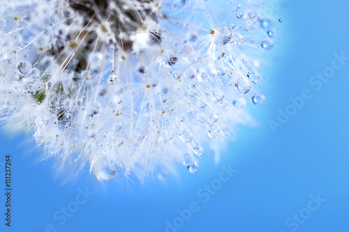 Dandelion seed head on blue background