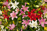 Closeup of a mixed assorted Asiatic Lilies flower in a garden