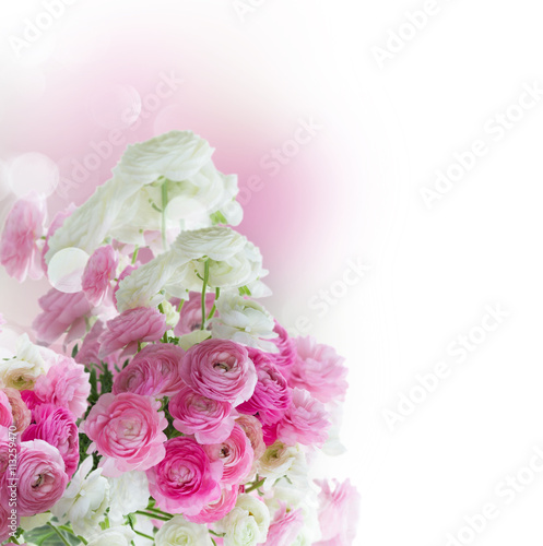 obraz PCV Pink and white ranunculus flowers