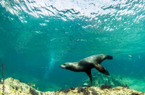 Sea Lion Poster
