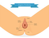 Vagina anatomy. Clean illustration of vulva.