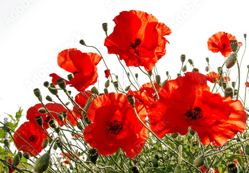 Fotobehang Rood Summer happiness: meadow with red poppies :)