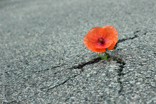 Mohnblume auf der Straße Poster
