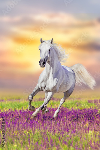 Fotobehang Zwavel geel White horse run gallop in flowers against sunset sky