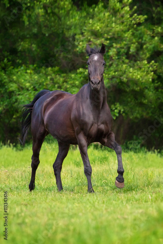 obraz PCV Black horse run gallop against trees in green field
