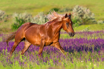 Red horse with long mane run in flowers at summer day © callipso88