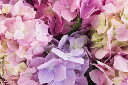 Hydrangea Flowers Closeup, Background Poster