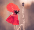 red poppy flower closeup at abstract background