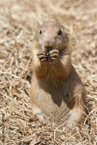 Papiers peints Hyène Ground squirrel also known as Spermophilus in its natural habitat