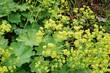 Alchemilla mollis lady's mantle plant