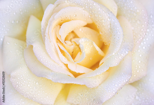 Fototapeta Macro photo of rose with drops of water. Beautiful yellow rose close-up.