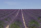 Filari di lavanda paesaggio provenzale