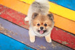 Friendly Pomeranian Standing on a Colorful Picnic Table