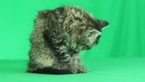 cute kitten licking paw on green screen