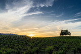 Sunset in Sonoma California wine country. Sun setting behind green grapevines in Sonoma Valley. Tree silhouette on the rolling hills. Blue and orange sky with wispy white clouds.