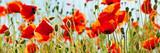 Panorama eine Mohnblumenfeldes