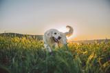 Золотистый ретривер в лучах солнца
