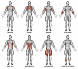 Front projection of the human body. Showing muscle groups that work during exercise. Exercising for bodybuilding Target muscles are marked in red. 3D illustration