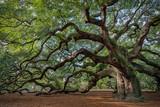 Large southern live oak (Quercus virginiana) near Charleston, South Carolina - 113611810